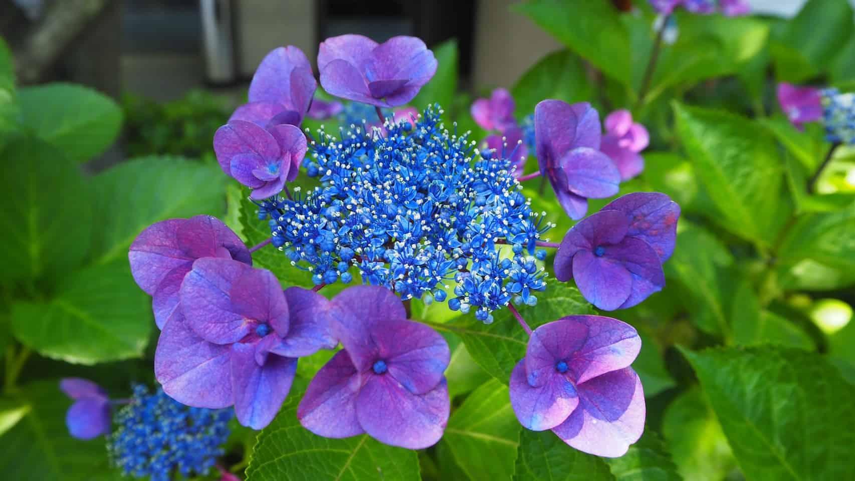 紫陽花の写真1