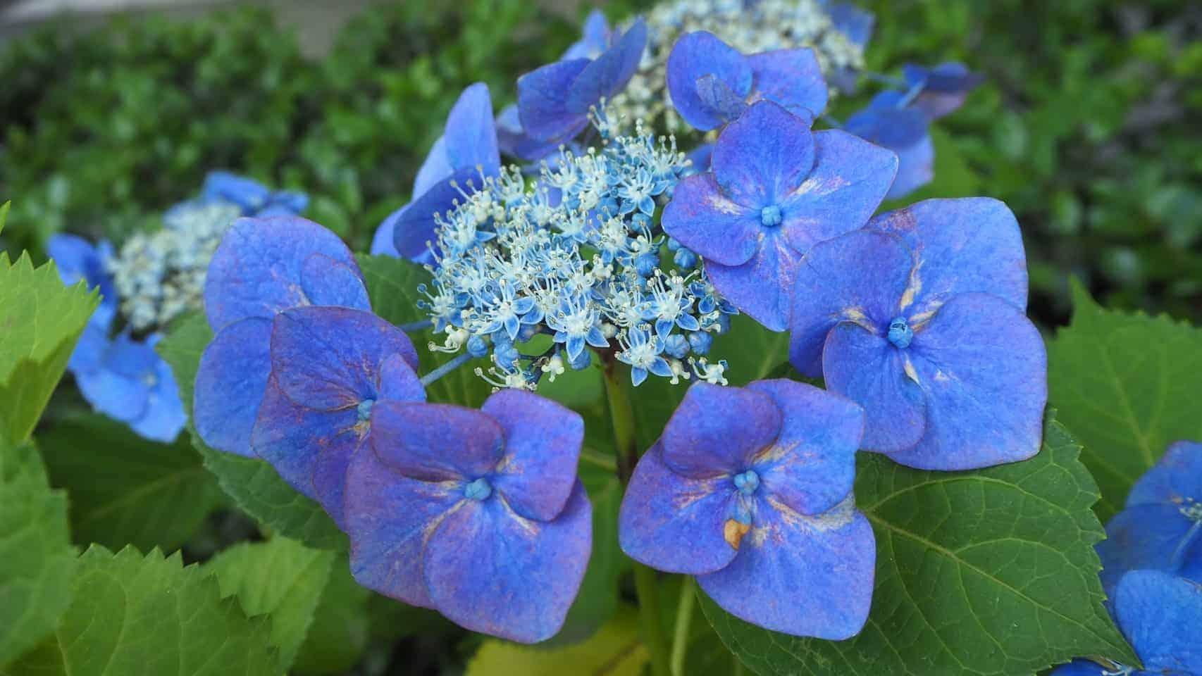 紫陽花の写真2